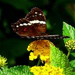 """Black Butterfly on Yellow Lantana"" by susansartgallery"