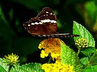 Black Butterfly on Yellow Lantana