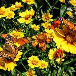 """Orange Butterflies on Yellow Coreopsis"" by susansartgallery"