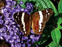 Black Butterfly on Heliotrope