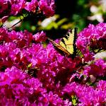 """Tiger Swallowtail on Azalea"" by susansartgallery"
