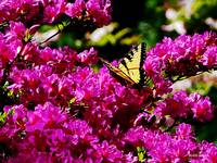 Tiger Swallowtail on Azalea