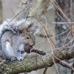 """Gray Squirrel"" by WildAboutNaturePhotography"