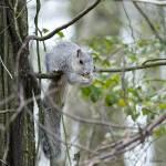 """Delmarva Fox Squirrel"" by WildAboutNaturePhotography"