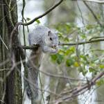 """Delmarva Fox Squirrel"" by WildAboutNaturePhotography"