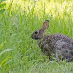 """Cottontail Rabbit"" by WildAboutNaturePhotography"