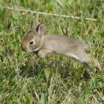 """Baby Cottontail"" by WildAboutNaturePhotography"