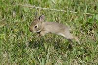 Baby Cottontail