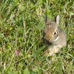 """Cottontail Baby"" by WildAboutNaturePhotography"