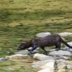 """American Mink"" by WildAboutNaturePhotography"