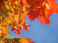Red Orange Autumn Leaves Fall Blue Sky art prints