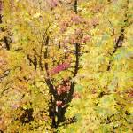 """Yellow Tree Autumn Leaves Fall Trees art prints na"" by BasleeTroutman"