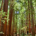 """Redwoods HDR"" by scott2403"