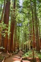 Redwoods HDR