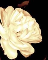 White Rose in a Sepia tone
