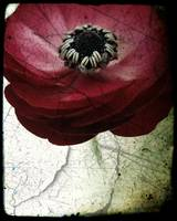Red Ranunculus, darkened, weathered image