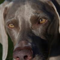 The intensity of the Weimaraner Art Prints & Posters by Donna Corner Holmes