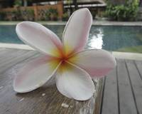 Pool Side Plumeria