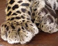 Cheetah Paws