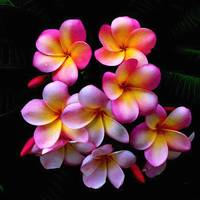 Pink And Yellow Frangipani