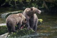 Brown Bear Mama and Cub