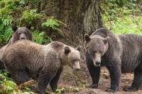 Mama Brown Bear and Cubs