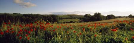Poppies Wiltshire England