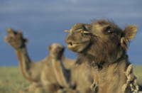 Dromedaries in Mongolia