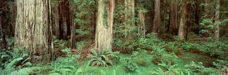 Redwoods Stout Grove Del Norte County CA