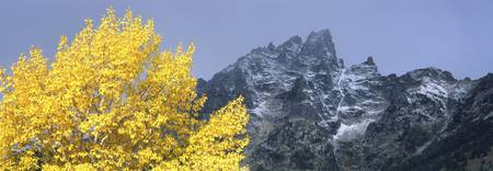 Aspen tree with mountains in background