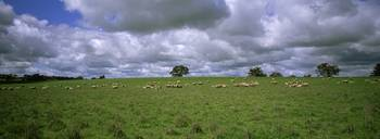 Flock of sheep grazing on a field