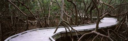 Boardwalk passing through Mangrove trees Joan M.