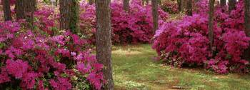 Azaleas in a forest