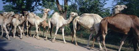 Group of camels walking on a road