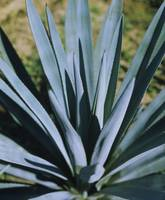 Close-up of a Blue agave (Agave Tequilana) plant