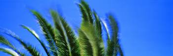 Palm Tree Top In The Wind