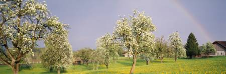 Pear Tree Orchard Switzerland