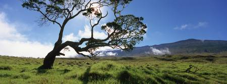 Koa tree on a landscape
