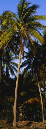 Low angle view of coconut palm trees