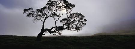 Silhouette of a Koa tree