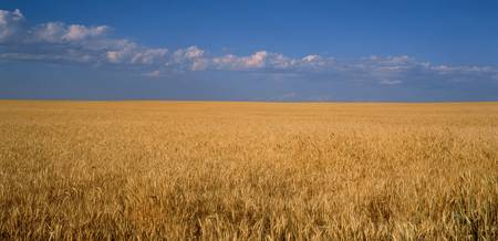 Wheat crop in a field