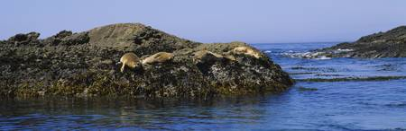 Four Sea Lions lying on a rock