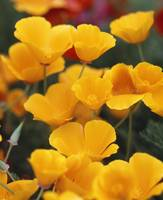 California Golden Poppies (Eschscholzia californi