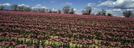 Tulips growing in a field