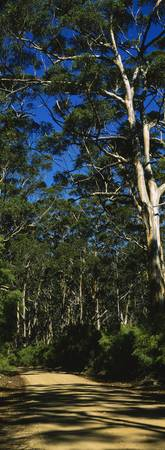 Eucalyptus trees in a forest