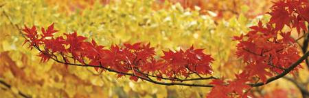 Red and yellow autumnal leaves