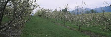 Pear trees in an orchard