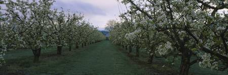 Row of pear trees in an orchard
