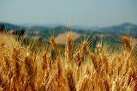 Wheat field - (Mornico Losana, 26 Jun 2006)