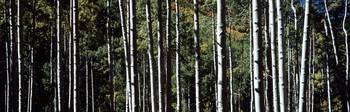 White Aspen Tree Trunks CO